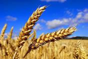 ведется закупка ячменя, сои, рапса, кукурузы, подсолнуха, различного класса по высоким ценам!