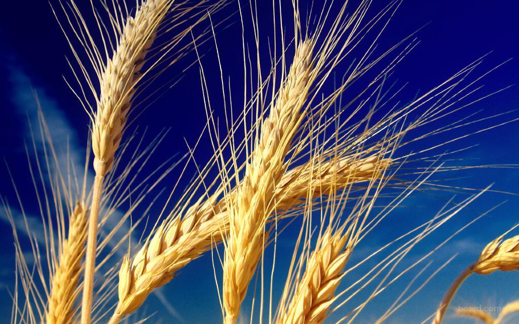 ведется закупка ячменя, сои, рапса,пшеницы различного класса по высоким ценам!