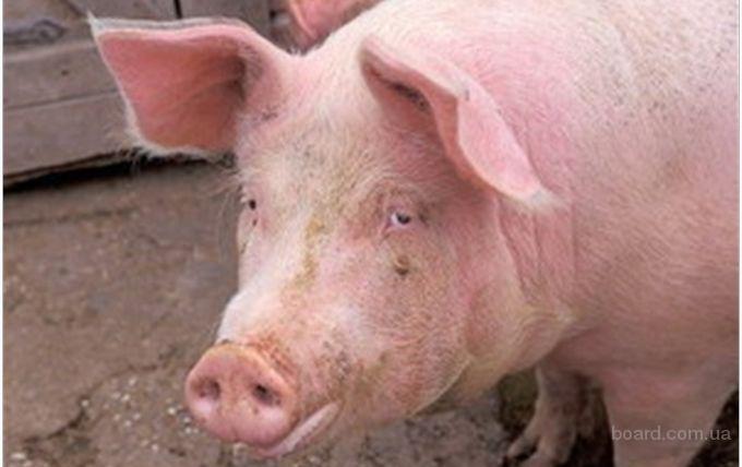 Продам 3 свині