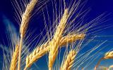 На постоянной основе, ведется закупка ячменя, сои, рапса, кукурузы, подсолнуха, различного класса по высоким