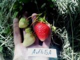 саженци земляники садовой