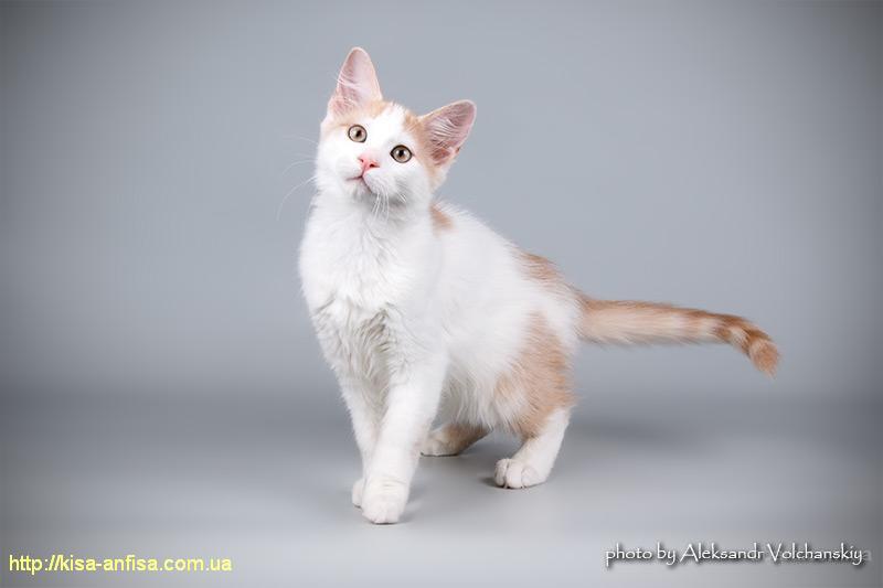 """Уникальная возможность приобрести котёнка очень редкой породы! Порода """"Афродита"""" только в нашем питомнике."""