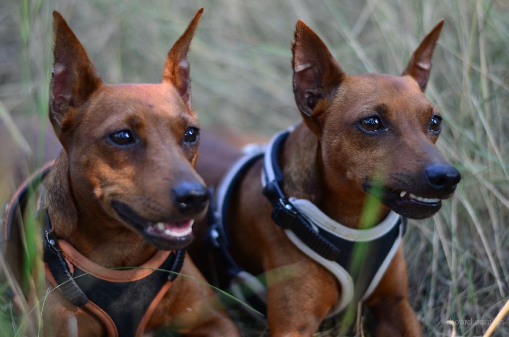 """Дрессировка собак в Одессе. Услуги профессиональных кинологов Центра дрессировки собак """"Smart-Dog"""""""