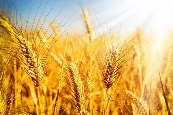 Закупаем зерновые урожай 2016г