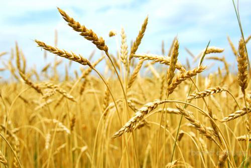 Экспортер закупает Пшеницу Урожай 2016г