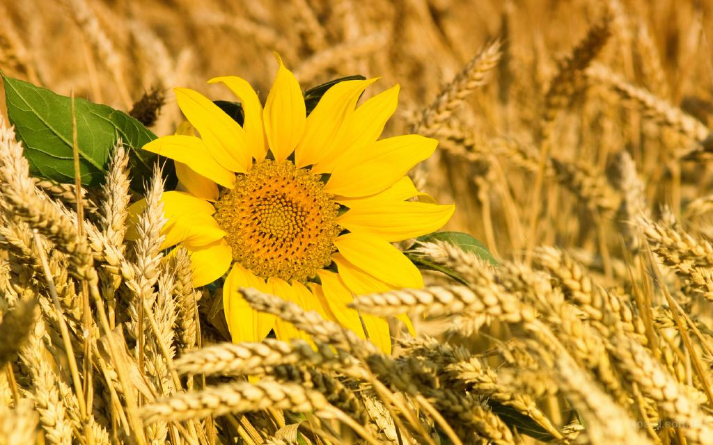 Куплю пшеницу, ячмень, кукурузу, подсолнух