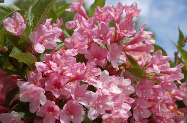 Продам саженцы вейгелы розовой.