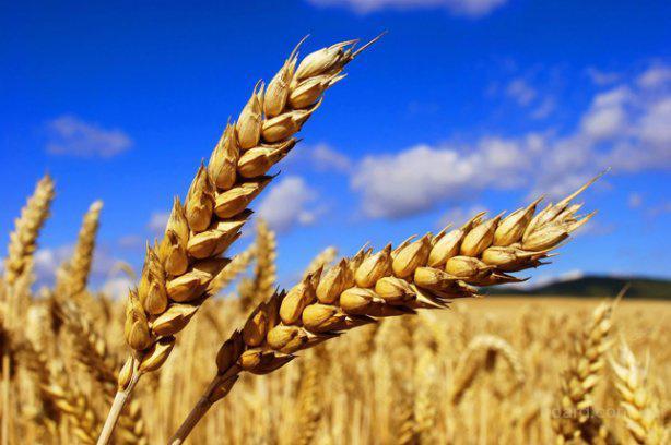 Компания закупает дорого пшеницу, ячмень, рапс, горох