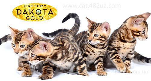 Бенгальский котик и бенгальская кошечка