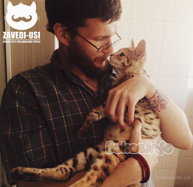 Коты саванна ф1 у вас дома