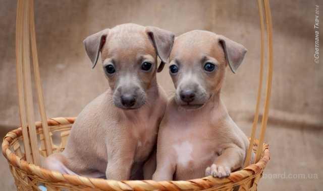 продаются щенки левретки
