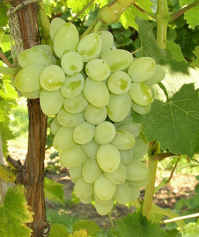 Продам свежий столовый виноград с поля