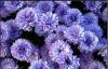 Хризантема астра новобельгийская (морозец) махровая.