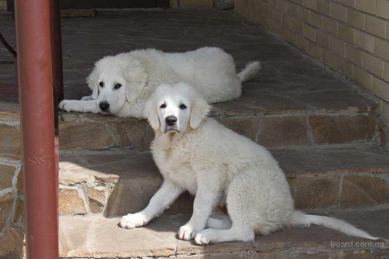 Продам щенка Польской Подгалянской породы