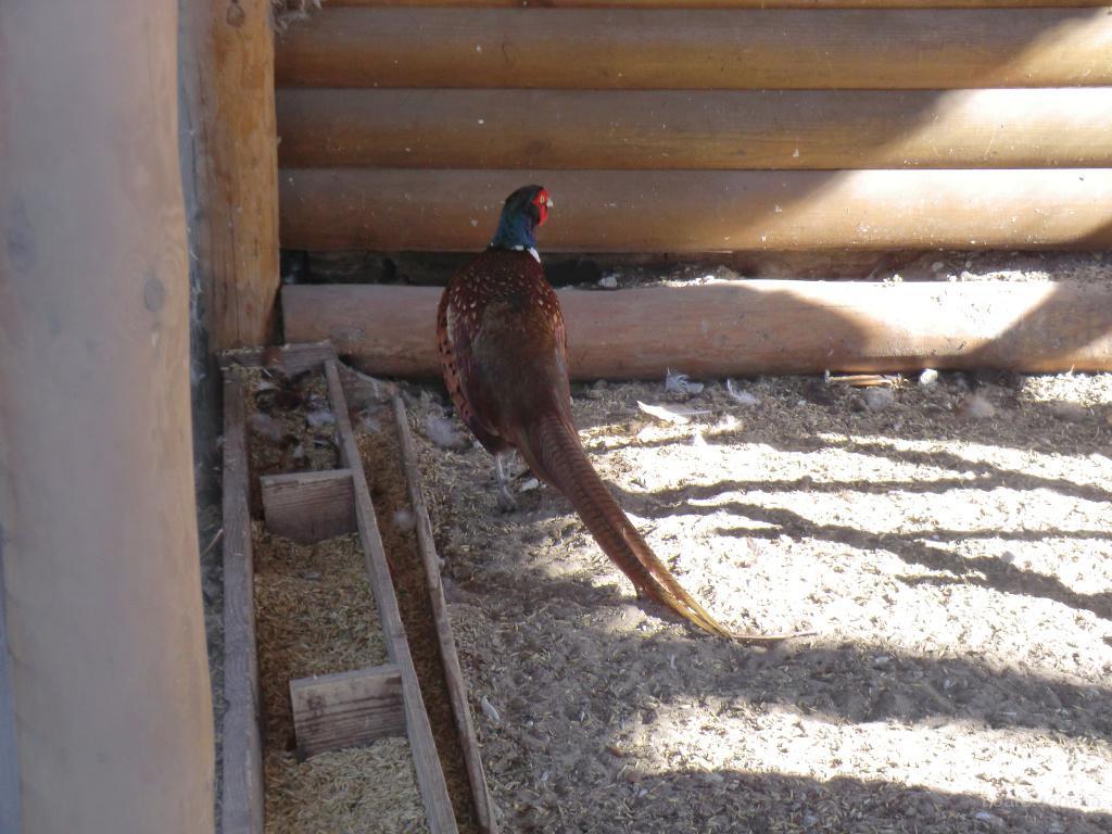 Мисливський фазан