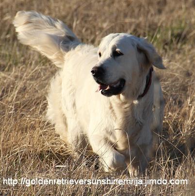 Шикарные щенки золотистого ретривера