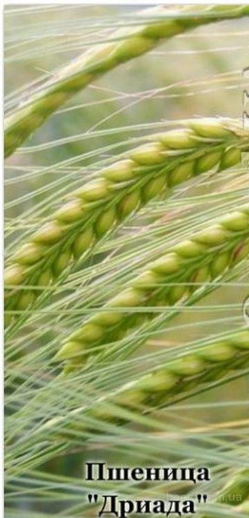 Насіння пшениці «Дріада» - 10 грам (250 насінин)
