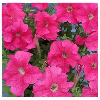 Продам семена петуния крупноцветковая Пршателстви F1