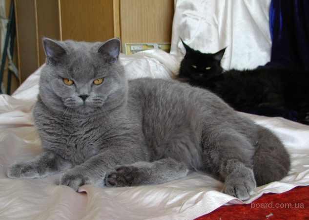Великолепный британский котенок голубого окраса, подрощенный