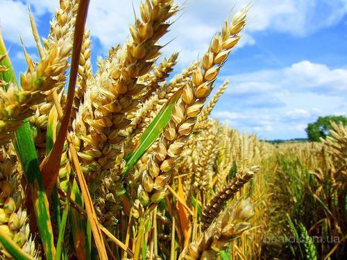 Закупаем пшеницу Гост и некондицию.