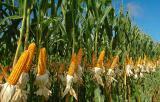 Купим кукурузу, ячмень.