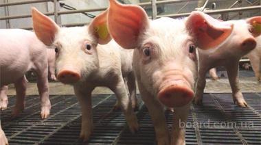 Водоподготовка для поения свиней