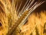Постоянно закупаем пшеницу, кукурузу, ячмень.