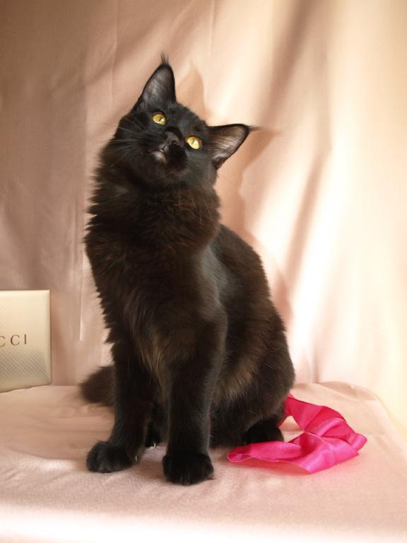 Кот-богатырь. Огромный 6-ти месячный котенок породы мейн-кун  премиум класса