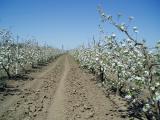 Продажа. Плодоносящий яблоневый сад в Крыму