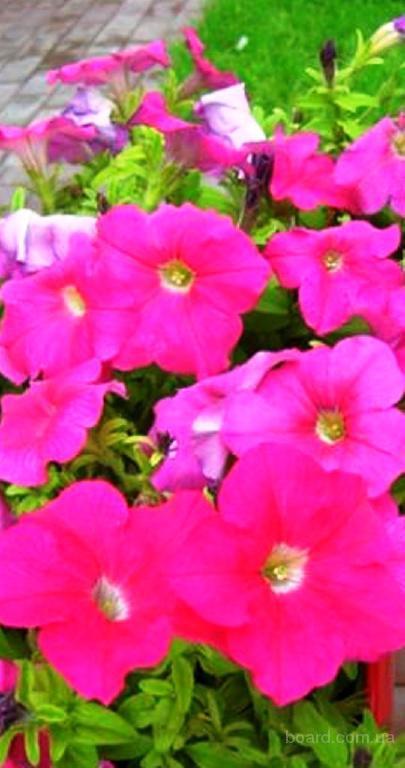 Насіння петунії «Веселка»