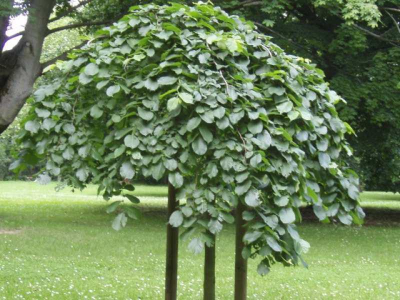 Вяз шершавый плакучий Ulmus Pendula для озеленения