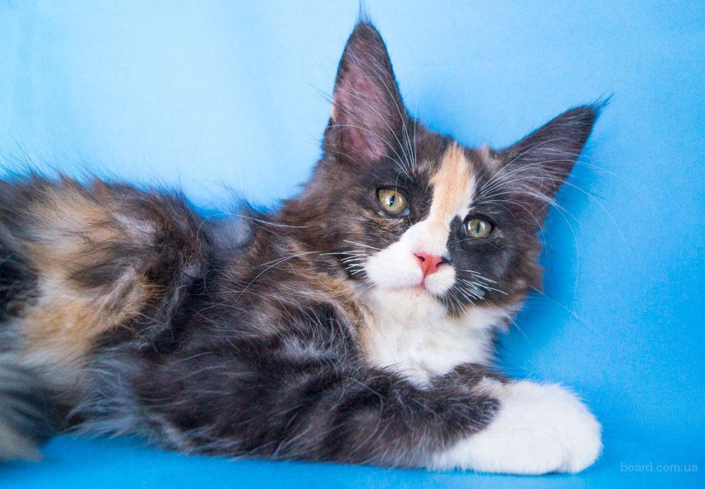 Мейн-кун котята с родословной, редкие окрасы, питомник CamelliaCoon