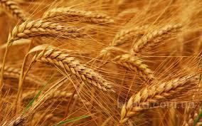 Купим пшеницу!