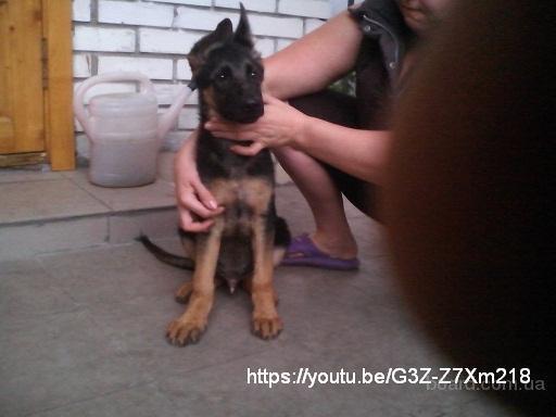 Продам щенка немецкой овчарки 4мес., кобелек с идеальным чепрачным окрасом