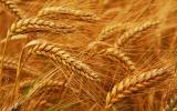 продам семена пшеницы импортной 1 р.