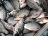 Продам Живую рыбу от производителя.