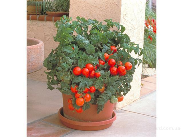Продам семена Томат Балконный