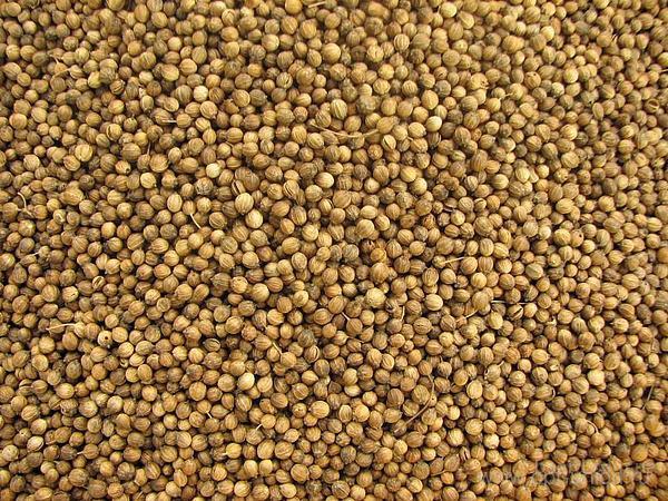 Продам семена кориандра