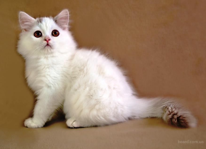 Нежный шотландский котенок