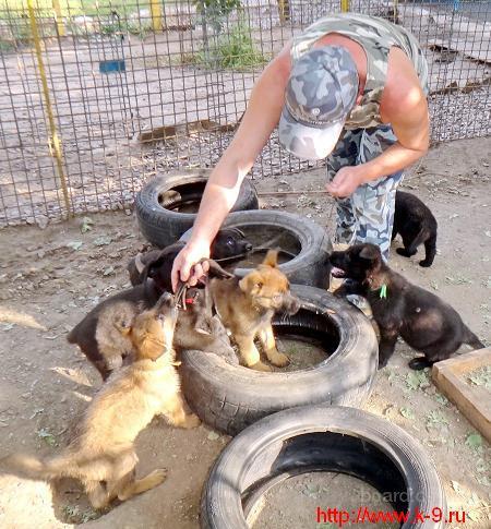 Породистые щенки немецких овчарок рабочего разведения