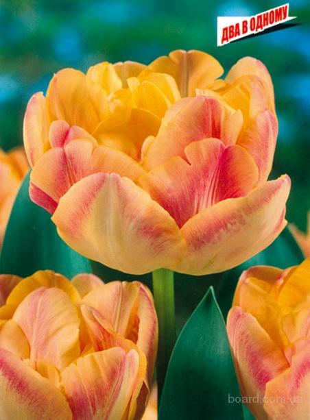 Луковицы тюльпанов в Киеве