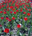 Продам луковицы тюльпанов красные ранние Парад
