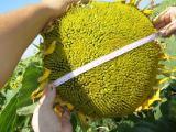 насіння соняшнику - Армагедон, ІМІ