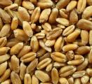 Пшениця (3 клас) - куплю. СРТ Миколаїв 160 доларів