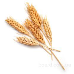 Куплю пшеницу фуражную и кукурузу с элеваторов и хозяйств Харьковской области.