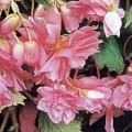 Продам семена Бегония ампельная махровая Шансон, розовая