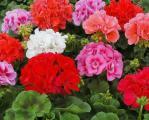 Продам семена Пеларгония садовая Карнавал, смесь