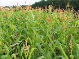 семена кукрузы