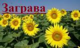 Науково-виробнича фірма «ГРАН» пропонує оняшникове насіння класичного ранньостиглого Гібрид соняшнику «Заграва»