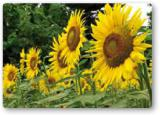 """Пропонуємо придбати насіння нового соняшнику """"Карлос 105"""""""